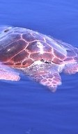 turtle in the azores