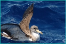 Birds of Madeira: Cory's Shearwater