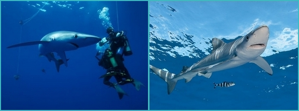 Azores shark diving