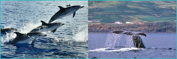 whales and dolphins in Azores