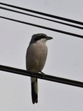 Southern Grey Shrike