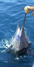 Marlin caught off Vilamoura
