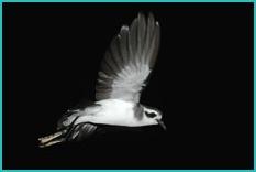 Birds of Madeira: Storm Petrel