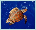 Sea turtle in the Atlantic
